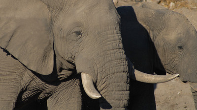 Savanna Elephant, Loxodonta africana. South Africa.
