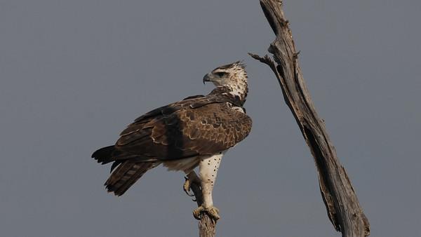 Martial Eagle, Polemaetus bellicosus. Chobe, Botswana.