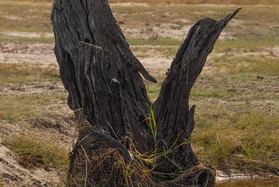 Monitor Lizard. Chobe, Botswana.