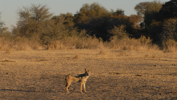 Black-backed Jackall, Canis mesomelas. South Africa.