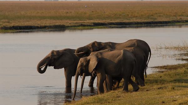 Savannah Elephant, Loxodonta africana. Chobe, Botswana.