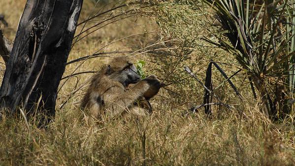 Chacma Baboon, Papio ursinus. Okavango Delta, Botswana.