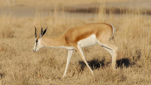 Springbok, Antidorcas marsupialis. South Africa.
