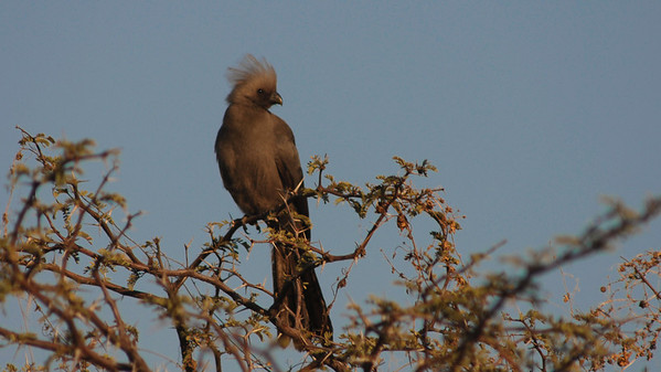 Grey Go-away-bird, Corythaixoides concolor. South Africa.