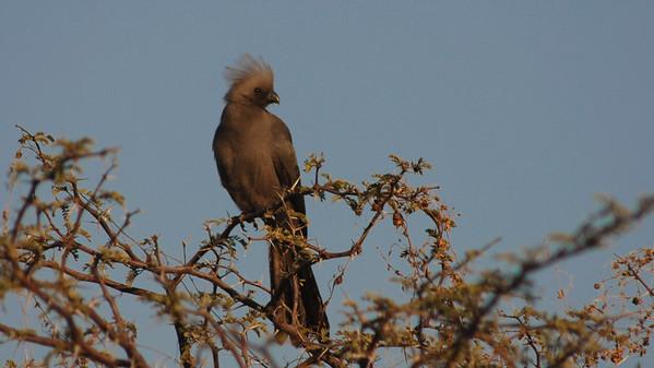 Grey Go-away-bird, Corythaixoides concolor. South Africa.