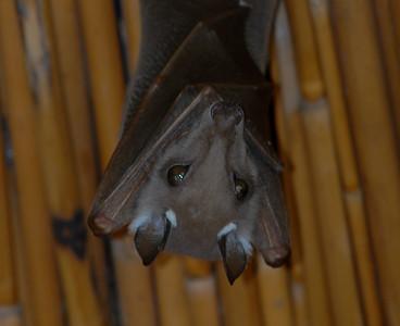 Peter's Epauletted Fruit-bat, Epomophorus crypturus. Okavango Delta, Botswana.