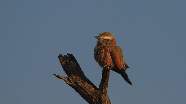 Purple Roller, Coracias naevia. South Africa.