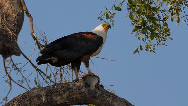 African Fish Eagle, Haliaeetus vocifer. Savute, Botswana.
