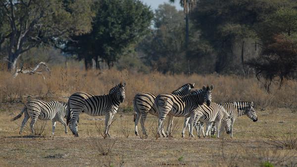 Plains Zebra, Equus quagga. Okavango Delta, Botswana.