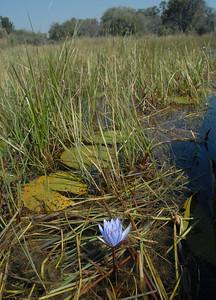 Water Lily. Okavango Delta, Botswana.