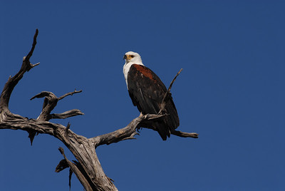 African Fish eagle, Haliaeetus vocifer. Kwai River, Botswana.