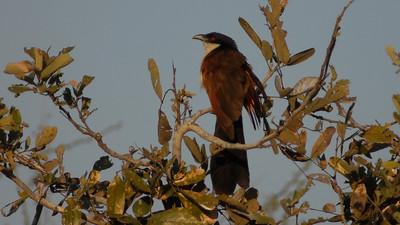 Senegal Coucal, Centropus senegalensis. Okavango Delta, Botswana.