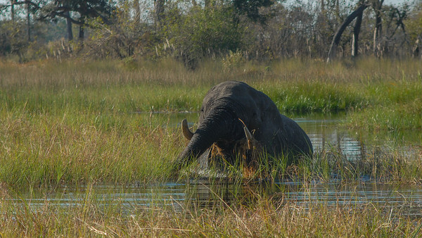 Savannah Elephant, Loxodonta africana. Okavango Delta, Botswana.