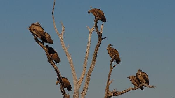 White-backed Vultures, Gyps africanus. Kwai River, Botswana.