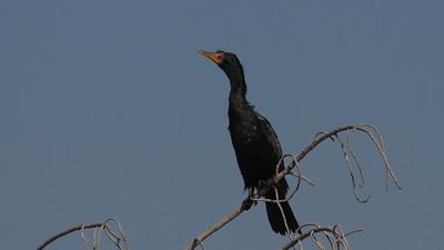 Long-tailed Cormorant, Phalacrocorax africanus. Okavango Delta, Botswana.