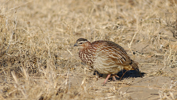 Crested Francolin, Francolinus sephaena. South Africa.
