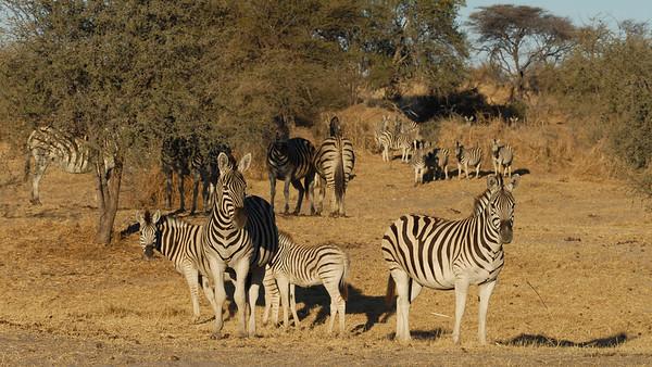 Plains Zebra, Equus quagga. South Africa.