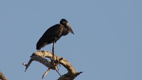 African Openbill , Anastomus lamelligerus. Okavango Delta, Botswana.