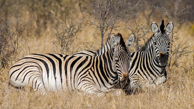 Plains Zebra, Equus quagga. South Africa.