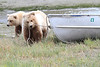 Brown_Bear_Tweens_Alaska (29)