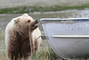 Brown_Bear_Tweens_Alaska (22)