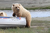Brown_Bear_Tweens_Alaska (20)