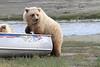 Brown_Bear_Tweens_Alaska (20)