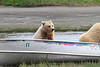 Brown_Bear_Tweens_Alaska (19)