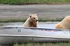 Brown_Bear_Tweens_Alaska (19)