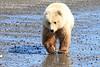 Brown_Bear_Tweens_Alaska (1)