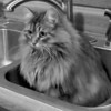 "Writes GramB of Nisswa: ""The Examiner's submission of the kitty 'Smokey' in the antique sink (March 25) was reminiscent of this recent photo of our adorable Siberian grandkitty, Maya. She, too, finds comfort in the sink — albeit the more modern, stainless-steel kitchen-type. In my mind's eye, they both could be waiting for someone to turn on the shower!"""