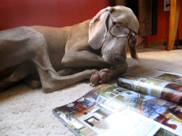 "DELBERT'S PAL: ""Do you ever wonder what the dog does while you're out getting the groceries? Our granddaughter Jenny came home to find that Kana the Weimaraner did not rip up the house, but was quietly reading her magazine. She might be ready for Bulletin Board next."""