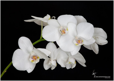 Baby's Breath Orchid (hybrid)