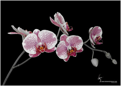 Acker's Sweetie Orchid (hybrid)