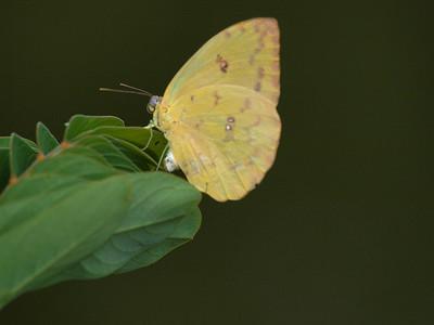 butterfly laying eggs II & metamorphosis
