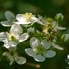 Common Blackberry (Rubus allegheniensis) Everywhere!