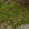 Three-toothed Cinquefoil (Sibbaldiopsis tridentata) and Yellow Hawkweed (Hieracium caespitosum)