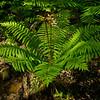 Cinnamon Fern (Osmunda cinnamomea)