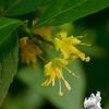 (I'm having a braincramp) I think: Fly Honeysuckle (Lonicera canadensis)