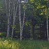 Lovely birch glade.