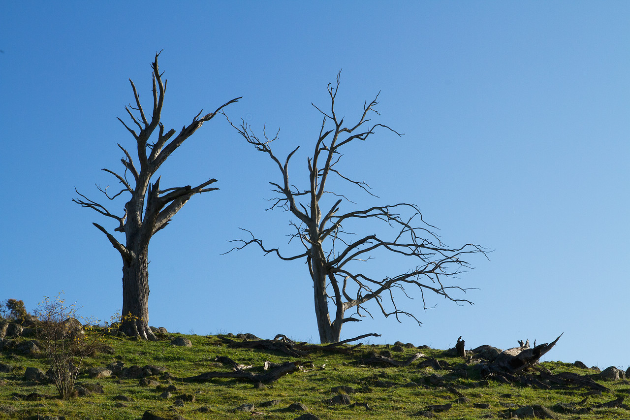 Dead trees on Percival Hill, Canberra