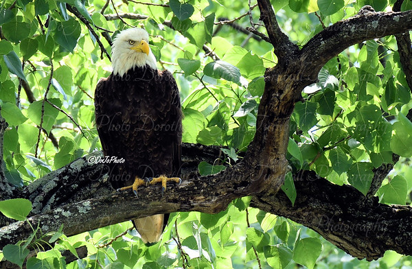 Carillon Eagle