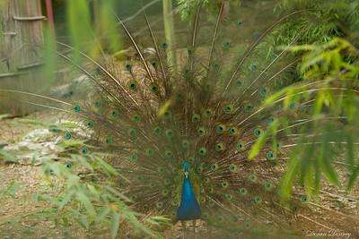 Peacock, through the fence