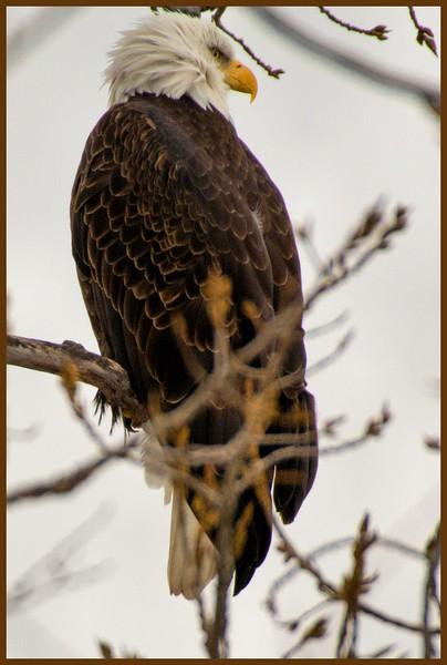 Adult Bald Eagle, Tibbitts Ave. Green Island, NY 2-4-15