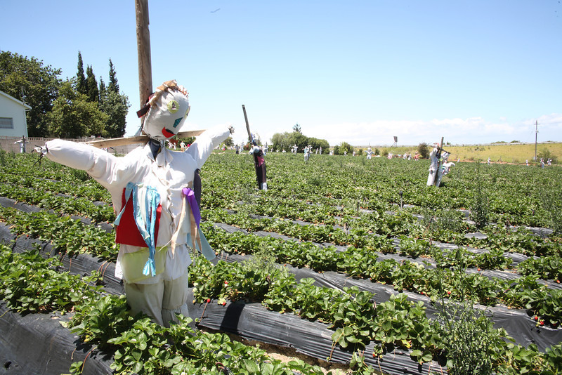 Strawberry picking in Stellenbosch, Western Cape, South Africa