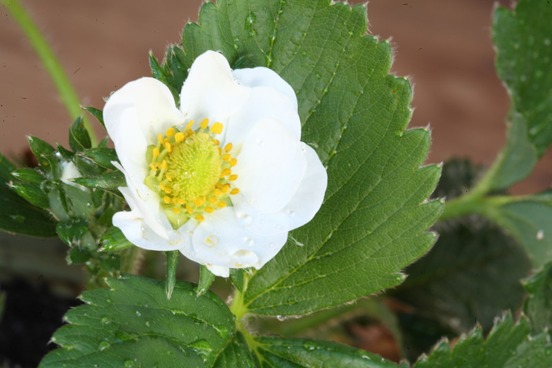 Flower of the strawberry plant. The flower will eventually become the strawberry