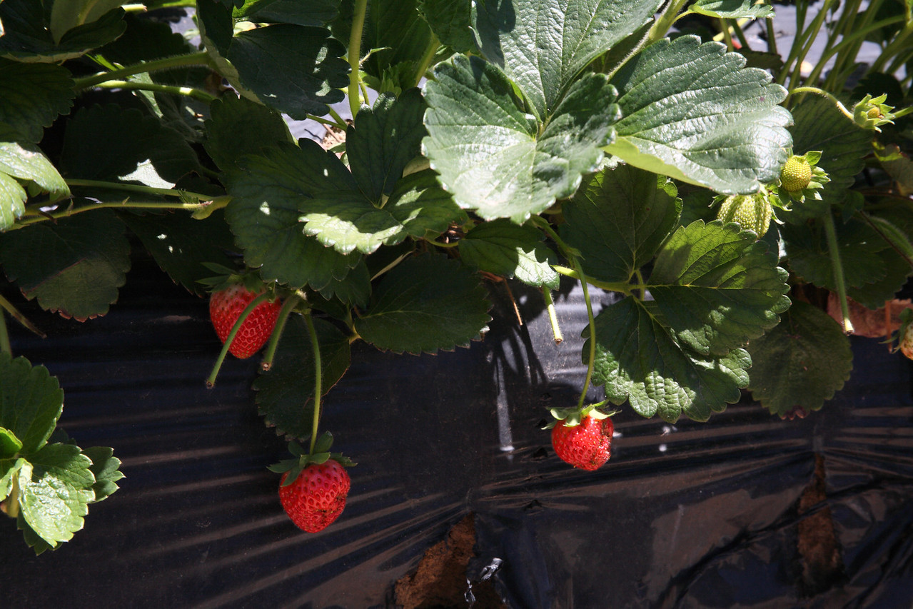 Strawberrygrowing in Stellenbosch, Western Cape, South Africa
