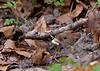 Bank vole, Clethrionomys glareolus, Rødmus, Holte, Danmark, Apr-2010