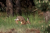 European hare, Lepus europaeus, Asserbo, Danmark, May-2011