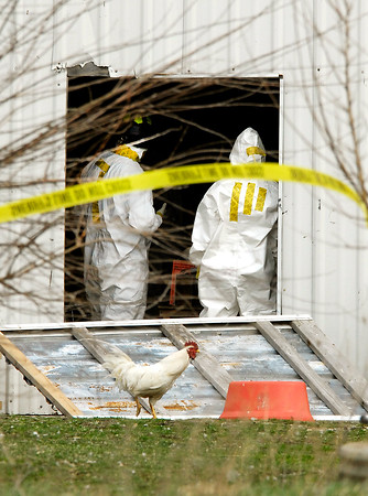 Investigators dressed in hazmat suits work in one of the barns Wednesday where the remains of as many as 100 animals were found dead Tuesday night at a farm on County Road 1700 North near 350 West.  One of the surviving roosters wanders by out front looking for food.